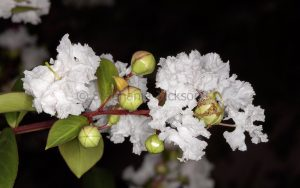 White flowers of Lagerstroemia indica, a deciduous tree, Crepe Myrtle / Pride of India on black background