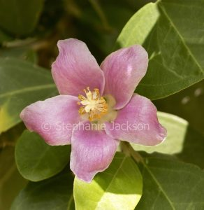 Pink flower of Lagunaria patersonia, Norfolk Island Hibiscus, Tree, an Australian native species, on background of green leaves