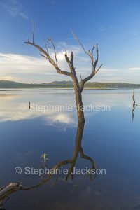 Solitary dead tree standing in and reflected in calm blue water of lake at Paradise dam near Biggenden in Queensland Australia.