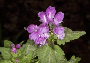 Mauve / pink flowers and green leaves of Lamium maculatum 'Beacon Silver', a ground cover / rockery plant on black background
