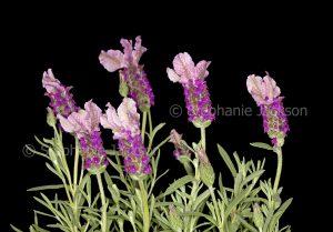 Purple perfumed flowers of lavender, Lavendula pedunculata 'Stenhart on dark background