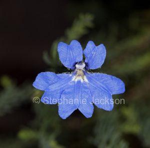 Blue flower of Lechenaultia biloba in Queensland Australia.