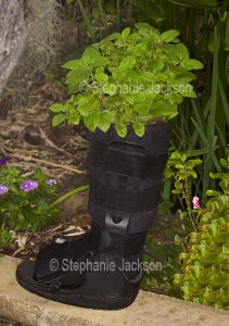 Lemon balm, an aromatic herb, growing in an unusual recycled container, a moon boot.