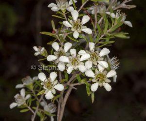 Cluster of white flowers of tea tree, Leptospermum polygalifolium syn flavescens in Blackdown Tablelands National Park, Queensland, Australia.