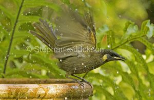 Lewin's honeyeater, Meliphaga lewinii with wings outstretched after bathing in garden bird bath in Queensland Australia