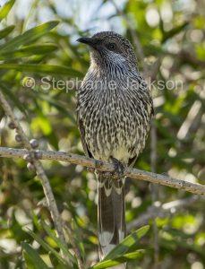 Little wattlebird , Anthochaera chrysoptera in Myall National Park in coastal vegetation in NSW Australia.