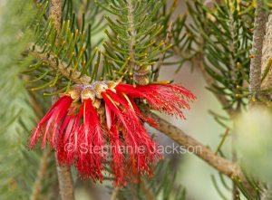 Red flowers of Lomandra effusa in Port Augusta botanic gardens, South Australia.