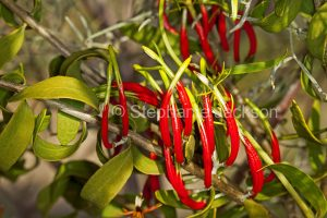 Red flowers of parastic plant, harlequin mistletoe, Lysiana exocarpiin outback Australia.