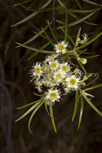 Cluster of white flowers of Lysicarpus angustifolius, Budgeroo Tree in Expedition National Park in outback Queensland Australia
