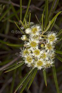Cluster of white flowers of Lysicarpus angustifolius, Budgeroo tree in Expedition National Park in Queensland Australia.