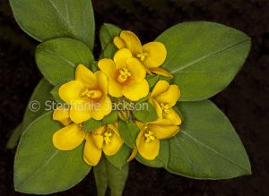 Yellow flowers and green leaves of Lysimachia congestiflora, Creeping Jenny, ground cover plant on black background