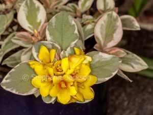 Yellow flowers and variegated leaves of Lysimachia congestiflora 'Gold Clusters', Creeping Jenny.