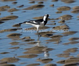 Male Magpie-lark, Grallina cyanoleuca, on a beach at low tide at Hervey Bay in Queensland Australia