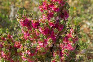Flowers of Maireana brevifolia syn Kochiabrevifolia, Yanga bush in outback NSW Australia.