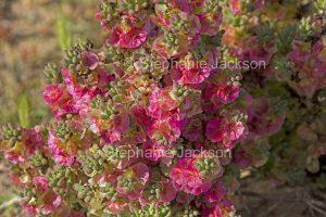 Maireana brevifolia syn Kochiabrevifolia, Yanga bush, in outback NSW Australia