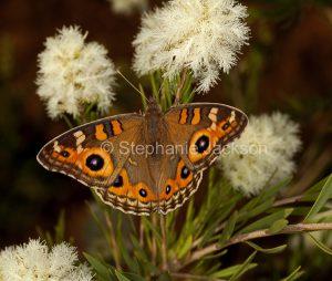 Meadow argus butterfly, Junonia villida, feeding on melaleuca flowers in Queensland Australia