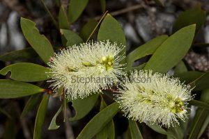 Creamy white flowers and green leaves of Melaleuca quinquenervia, an Australian native shrub.