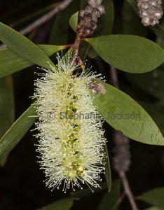 Creamy white flower and green leaves of Melaleuca quinquenervia, an Australian native shrub on dark background