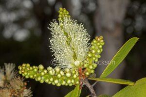 Creamy white flowers and buds of Melaleuca quinquenervia, an Australian native shrub.