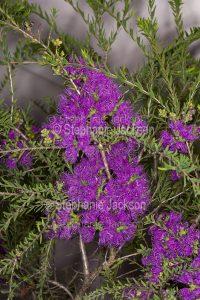 Mauve / purple flowers and small green leaves of Melaleuca thymifolia, an Australian native shrub.