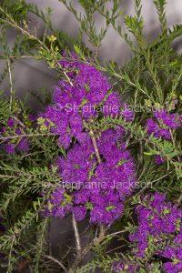 Purple flowers of Melaleuca thymifolia in Queensland Australia