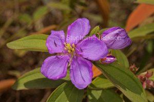 Melastoma affine, wild tibouchina / lassiandra flower in Byfield State Forest, Queensland Australia.