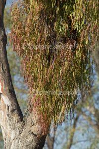 Box mistletoe, Amyema miquelii, growing on a eucalyptus / gum tree in south-western Queensland Australia
