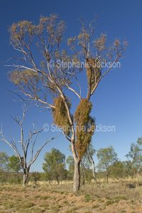 Box mistletoe, Amyema miquelii, growing on a eucalyptus / gum tree in south-western Queensland Australia