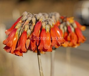 Cluster of orange flowers of drought tolerant succulent plant, Bryophyllum delagoense syn. B. tubiflorum / Kalanchoe Delagoensean, invasive weed in Australia