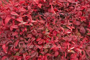 Mass of red leaves of Nandinia domestica nana, Dwarf Sacred Bamboo