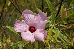Australian wildflower, large pink flower of Hibiscus splendens in Byfield state forest, Queensland Australia.