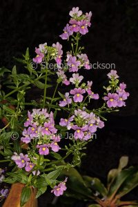 Pink flowers of Nemesia fruticans on black background