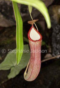 Nepenthes 'Lantern', Pitcher Plant, a carnivorous plant.