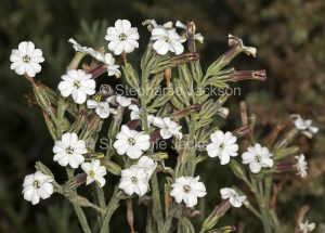 White perfumed flowers of Nicotinia velutina, native/ velvet tobacco in outback Queensland Australia