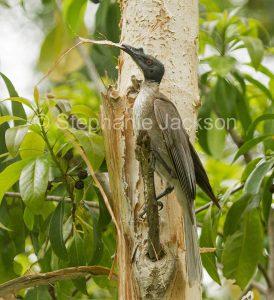 Australian backyard birds, noisy friarbird, Philemon corniculatus, a honeyeater, collecting nesting material in Queensland Australia