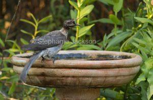 Australian backyard birds, noisy friarbird, Philemon corniculatus, a honeyeater, at garden bird bath in Queensland Australia
