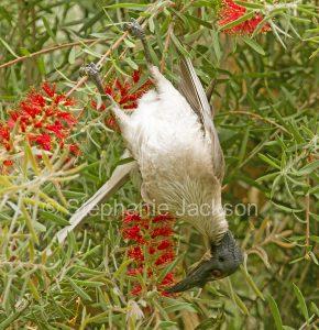 Australian backyard birds, noisy friarbird, Philemon corniculatus, a honeyeater, feeding on flowers of Callistemon / bottlebrush tree in garden in Queensland Australia