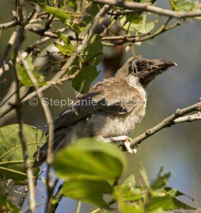 Australian backyard birds, noisy friarbird fledgling, Philemon corniculatus, a honeyeater, in Queensland Australia