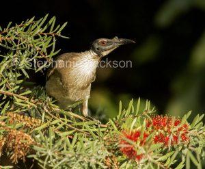 Australian backyard birds, noisy friarbird, Philemon corniculatus, a honeyeater, among flwoers of Callistemon / bottlebrush tree in garden in Queensland Australia