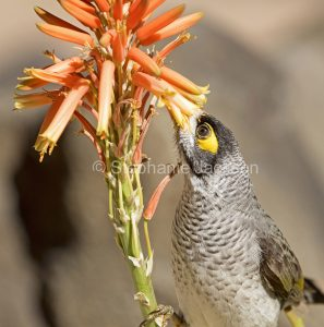 Australian birds, honeyeaters, Noisy miner bird, Manorina melanocephala, feeding on flowers of aloe in Queensland Australia