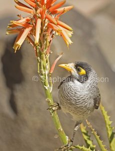 Noisy miner bird, Manorina melanocephala, honeyeater, on orange flowers of aloe, Queensland Australia