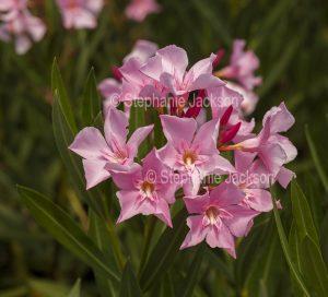 Pink flowers of Nerium oleander, evergreen garden shrub