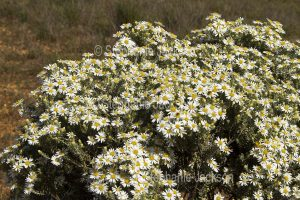 Australian wildflowers, Olearia pimeleoides, Mallee Daisy Bush, in outback / northern South Australia.