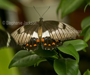Orchard swallowtail butterfly, Papilio aegeus - female on leaves of camellia in Queensland Australia
