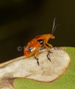 orange and black Dendrobium orchid beetle, Stethopachys formosa, on damaged leaf of an orchid in Queensland Australia