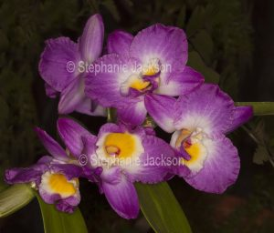 Pink / magenta and white flowers of orchid Dendrobium Elegant Smile 'Red Crest' on dark green background