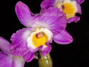 Pink / magenta and white flower of orchid Dendrobium Elegant Smile 'Red Crest' on black background