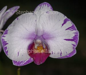 White and purple flower of orchid, Doritaenopsis 'Lightning' , Doritis x Phalaenopsis on dark background