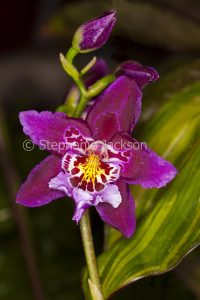 Magenta red and white flower of Cambria orchid Vuylstekeara Jerry Lawless 'Golden Gate', an intergeneric hybrid