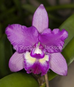 Purple flower of orchid Cattleya Narooma x Deception Drop 'Copper and Spots' on green background